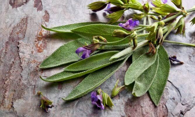 Beneficiile salviei, planta pentru femei